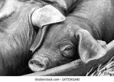 Piglet in a feeding trough surrounded by siblings with one eye visible beneath his ear. A black and white farmyard photograph.