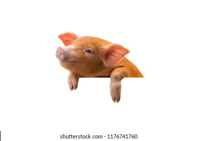Piglet isolated on white background for design