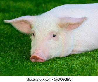 Piglet lying on green grass