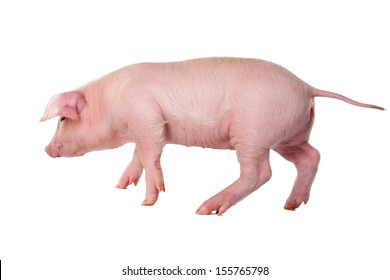 Piglet in motion. isolate
