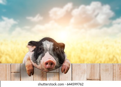 piglet on old wood and clippind path on Blur beautiful sky background
