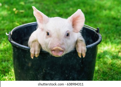piglet sitting in the  bucket