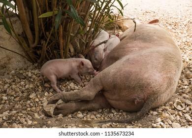 Piglet Suckling Sow Milk