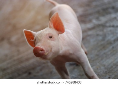 Piglet waiting feed. Pig indoor on a farm yard in Thailand. swine in the stall. Close up eyes and blur. Portrait animal.