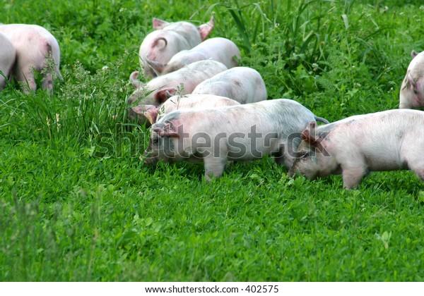 Piglets - 2