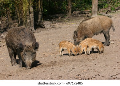 piglets and adult wild boar, Sus scrofa, searching for food in the mud