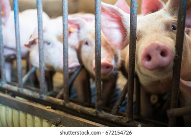 Piglets against the bars in a pigpen