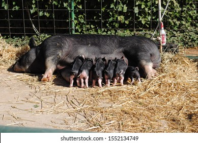 Piglets (baby pigs, sucklings) nursing on mother sow pig. Small piglets drinking milk from breast in the farm. Group of Mammal at outdoor farmyard. Black with pink swine.