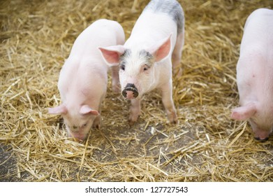 Piglets in a barn.