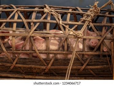 Piglets being taken to market in a wicker basket in Asia