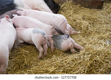 Piglets feeding from there mother.