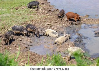 Piglets of the Hungarian mangalitsa lying in the mud in free range. Funny pigs playing outdoors.