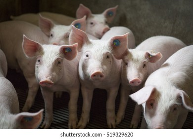 Piglets indoors on a pig farm in the Netherlands, Europe