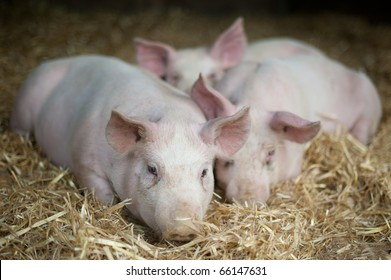 Piglets laying in straw
