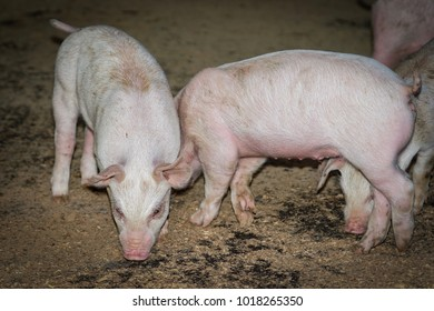 Piglets on a farm for food to the human population.