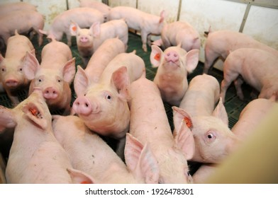 Piglets, photographed on farms in China
