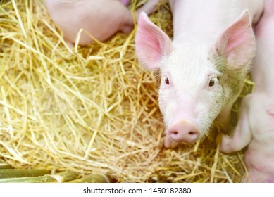 Piglets raised in pig farms.  Many piglets in the stall.