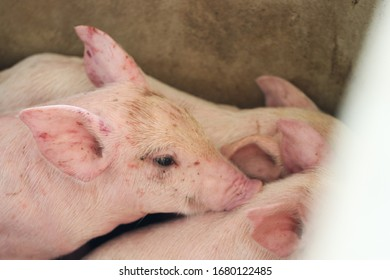 piglets are scramble the area for take a nap