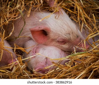 Piglets snuggled up in hay, sleeping soundly