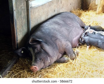 Piglets suckling on a sleeping mother pig