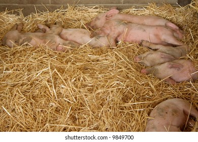 Piglets with their mother