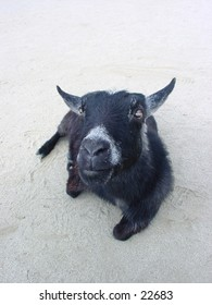 Pigmy goat resting at the San Francisco zoo.