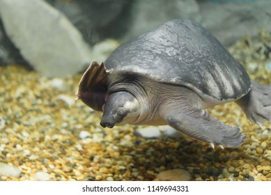 Pig-nosed turtle (Carettochelys insculpta), also known as the Fly River turtle.