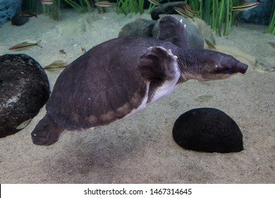Pig-nosed turtle (Carettochelys insculpta). Also known as the Fly River turtle, native to northern Australia and southern New Guinea. Wildlife animal