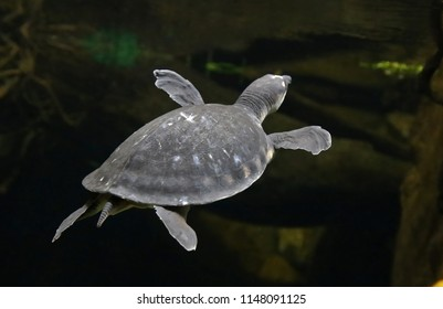 Pig-nosed turtle of New Guinea swimming in water
