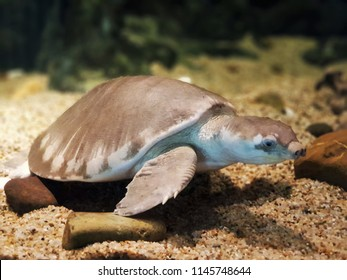 The pig-nosed turtle, pitted-shelled turtle or Fly River turtle (Carettochelys insculpta) is swimming in freshwater aquarium.