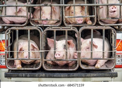 Pigs are being sent to the slaughterhouse
