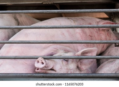 Pigs in cage in delivery truck, crowd livestock on the way to slaughterhouse.