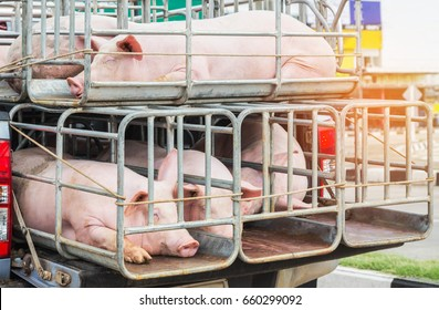 Pigs in cages on truck transport go to the slaughterhouse.