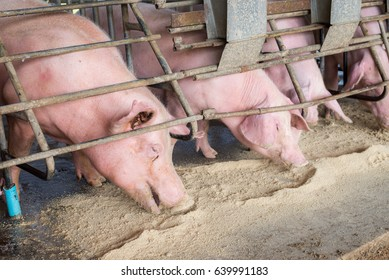 pigs eating food at farm