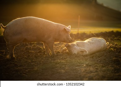 Pigs eating on a meadow in an organic meat farm