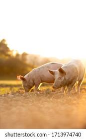 Schweine, die auf einer Wiese in einem ökologischen Fleischbetrieb essen - Weitwinkelaufnahme