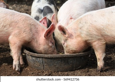 pigs eating out of trough