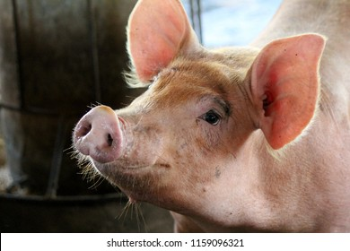 The pigs are fed to the farm to be slaughtered for slaughter for human consumption.