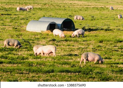 Pigs in a field at a free-range organic farm