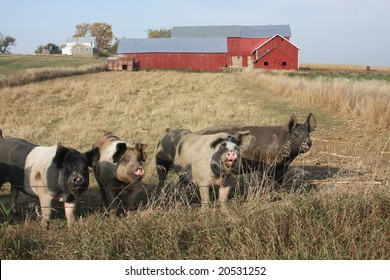 pigs in front of a red barn