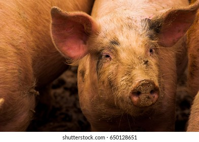 Pigs grazing outdoors in muddy farm field