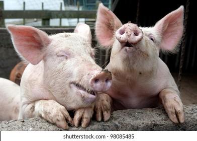 Pigs joking and laughing