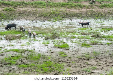 Pigs in the mud/family of pigs running around in the muddy channels of a danube island.