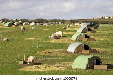 Pigs On A U.K. Farm
