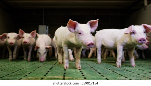 pigs purebred puppies in fence curious breeder look at the camera and take sides diligently snooping .