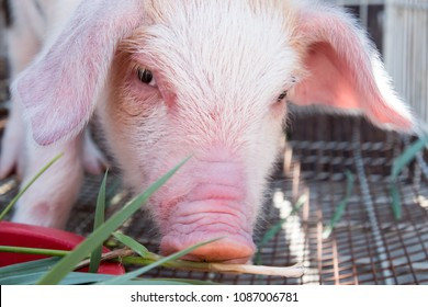 Pig's snout close-up. White pig with black spots of breed pietren sits in cage for transportation. Selective focus