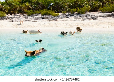 Pigs swimming in the beaches of the Bahamas