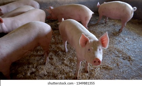 Pigs are walking around. Swines and straw. Waiting for food. Farm is breeding hogs for sale.