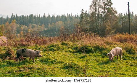 Pigs in the woods. Wild piglets graze in the forest against the backdrop of mountains and taiga.