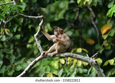 Pig-tailed macaque captured in Malaysia